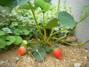 イチゴ 収穫 家庭菜園