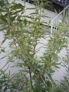 オリーブ 花 収穫